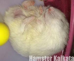 ハムスターの疑似冬眠?
