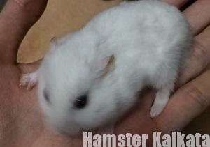 噛みつきハムスター