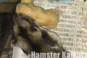 ハムスターが餌を食べない