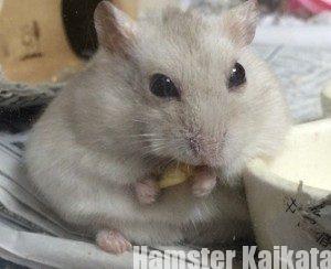 コーンを食べるハムスター