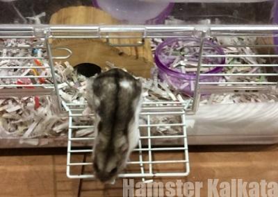 金網ケージを脱走するハムスター