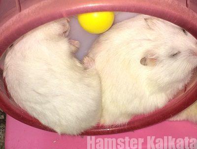 ハムスターの毛色が白くなった!