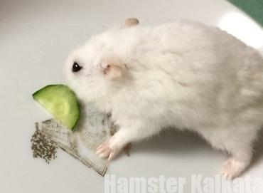 きゅうりを食べるハムスター