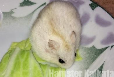 キャベツを食べるハムスター