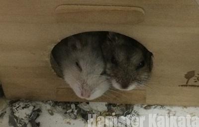巣箱から出てこないハムスター