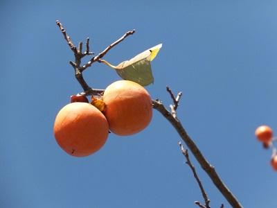 ハムスターは柿を食べられる?