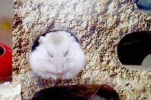 野生のハムスターの生息場所や巣は?