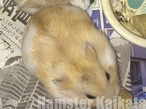 ハムスターが頬袋から食べ物を吐き出す理由