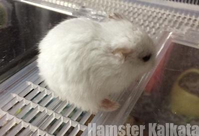 ハムスターの毛並みがボサボサ