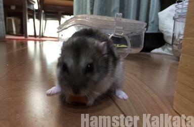 ハムスターはニンジンが好物?