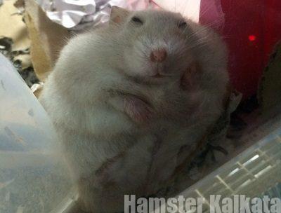 変なところで寝るハムスター