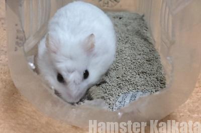 砂掘りするハムスター