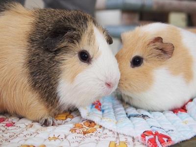 モルモットとハムスター、どちらが飼いやすい?