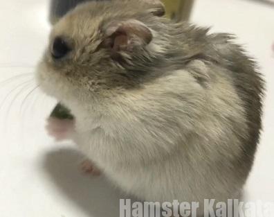背を向けて食べるハムスター