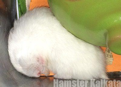 はじっこで寝ているハムスター