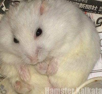 太った仰向けハムスター