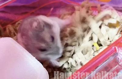 エサを床材で隠すハムスター