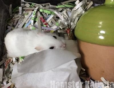 ハムスターの床材・巣材にティッシュはダメ!