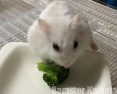 ブロッコリーを食べるハムスター