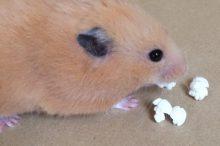 ポップコーンを食べるゴールデン