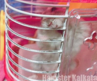 金網を噛むハムスター
