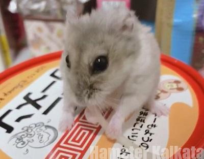 もやしを食べるハムスター