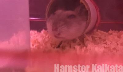 筒で寝ているハムスター