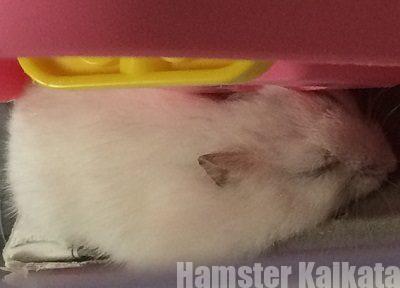 ハムスターが寝言やいびきをかくのは病気?正常?