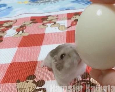ハムスターの卵の与え方