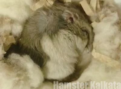 丸まって寝ているハムスター