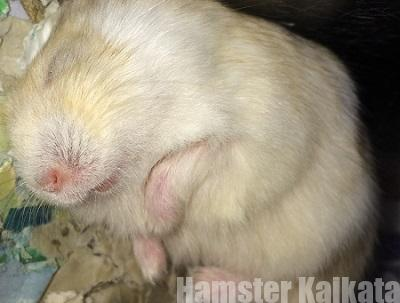 ハムスターの怪我・消毒・応急処置