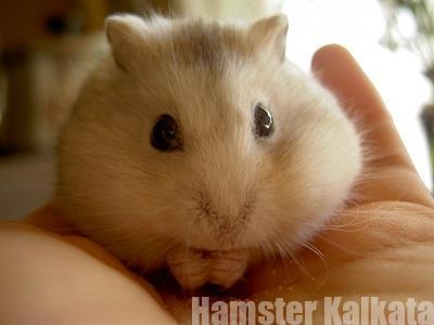 ハムスターの太り過ぎ・肥満対策