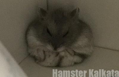 壁にもたれて丸まって寝ているハムスター