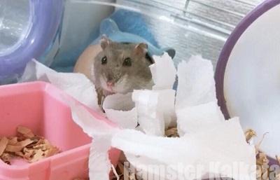 巣材にキッチンペーパーを使うハムスター