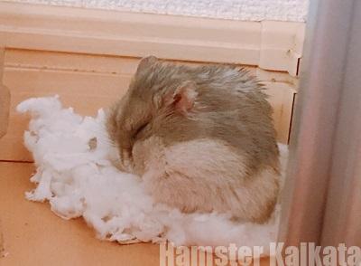 部屋の片隅に綿を集めているハムスター
