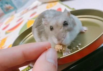 粟を美味しそうに食べるハムスター