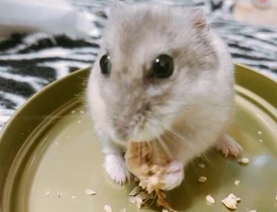 粟を持って食べるジャンガリアン