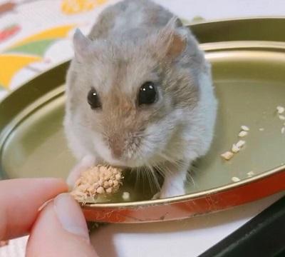 粟を食べようとするハムスター